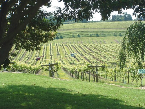 Looking out over the vines from the Brasserie