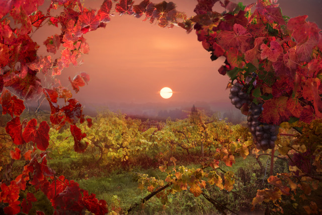 The sun setting over the vines in late autumn.