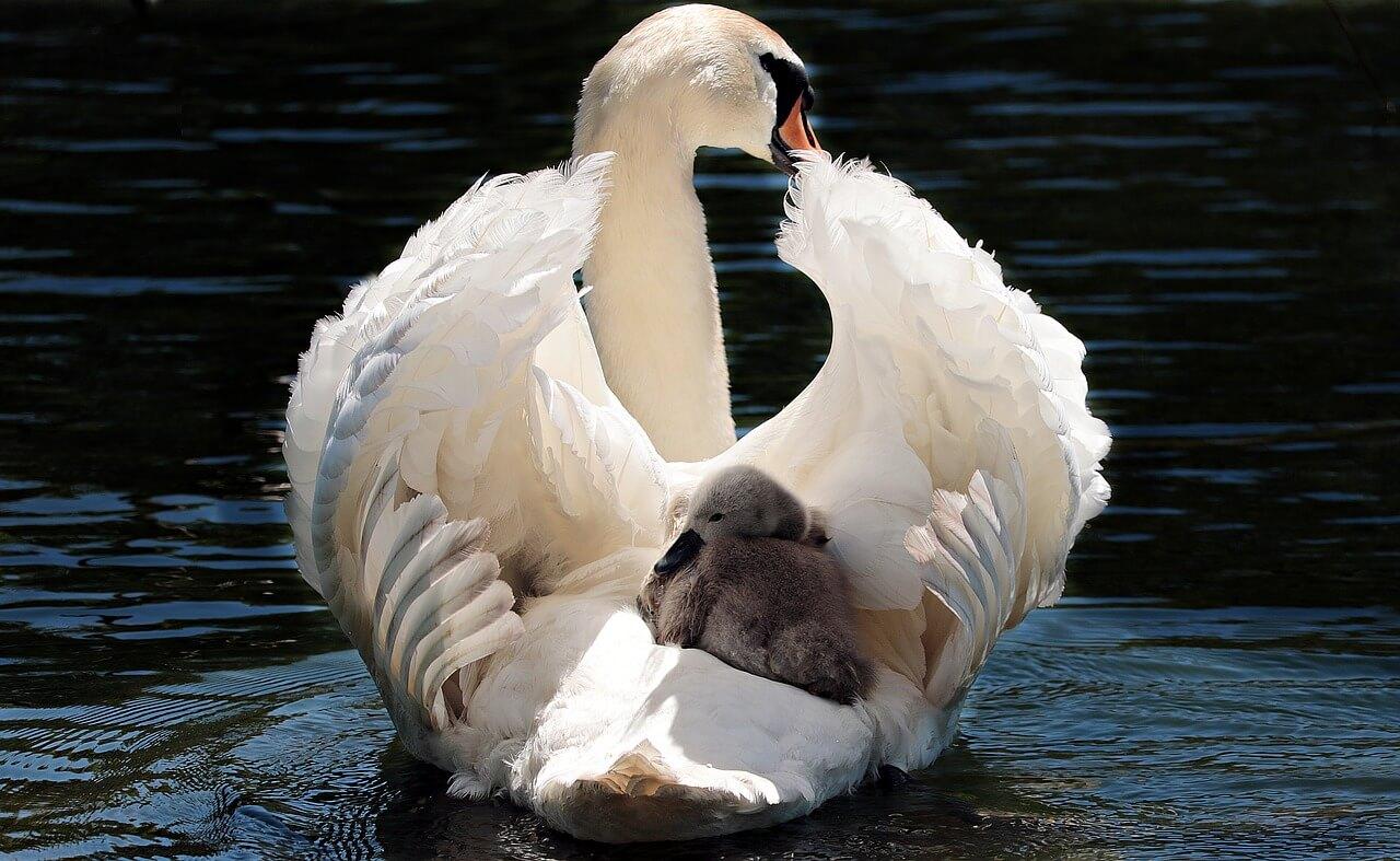 swans-wetlands-slimbridge-near-three-choirs-vineyards