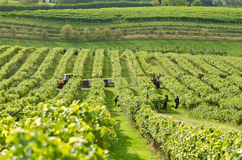 Harvest Time at Three Choirs Vineyards