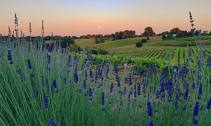 Lavender view over the vineyards