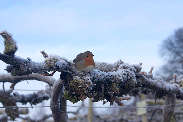 Robin in the snow sat on a vine at Three Choirs Vineyards