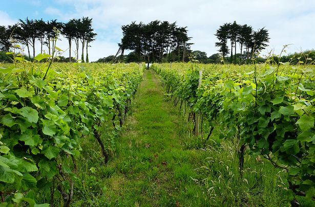 Polgoon-Vineyard-Penzance